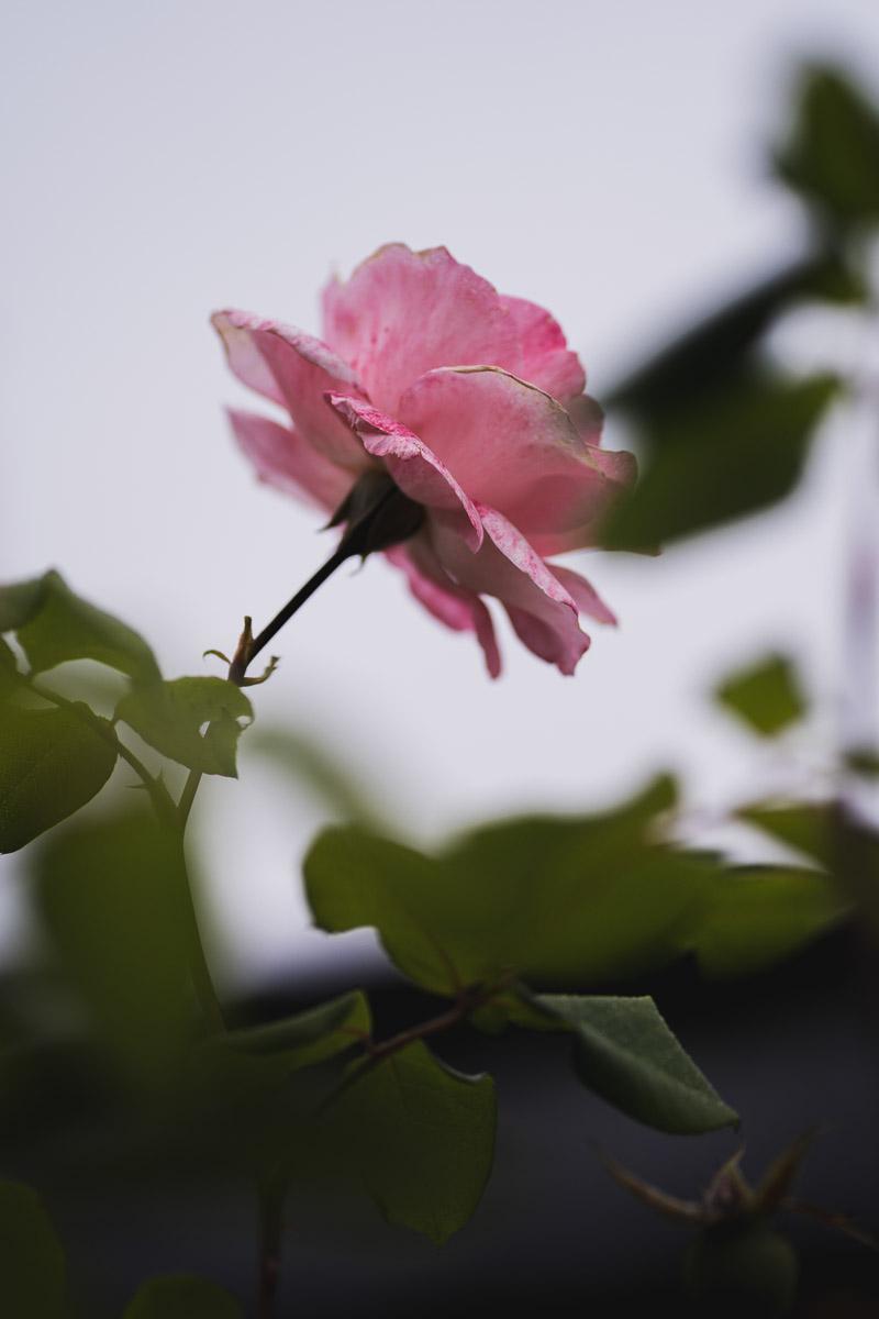 como fotografiar flores 3