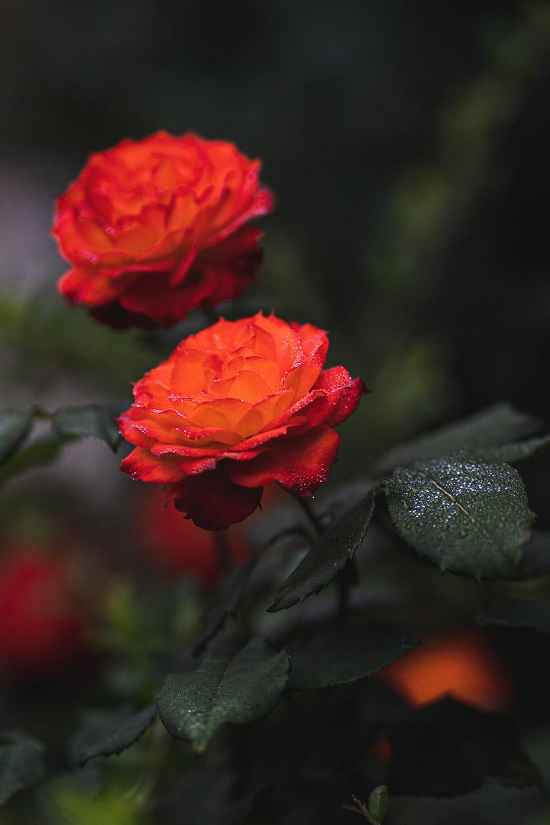 como fotografiar flores 2